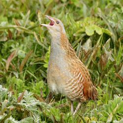 Corncrake and Phalarope tour