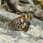 Grayling underwing