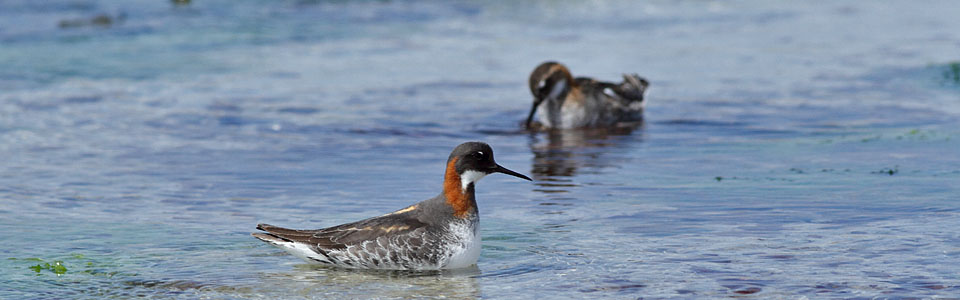 Tour Calendar Red-necked Phalarope