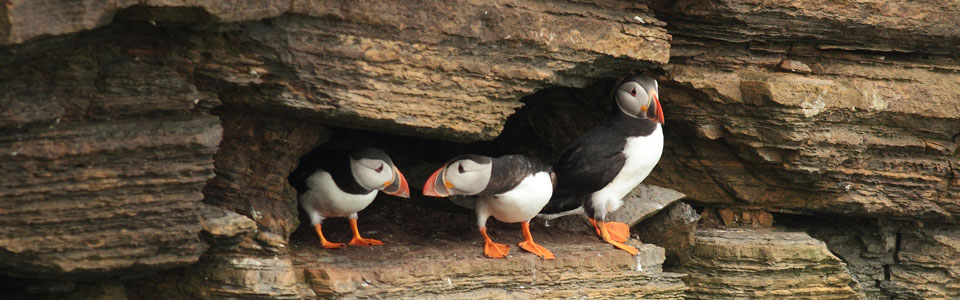 Orkney Islands Tour - Puffins at Yesnaby