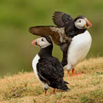 Puffins Outer Hebrides