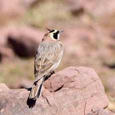 Atlas Horned Lark