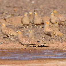 Crowned and Spotted Sandgrouse
