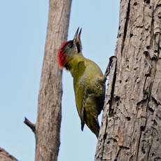 Levaillant's Green Woodpecker