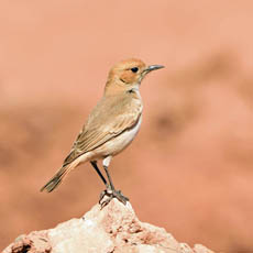 female Red-rumped Wheatear