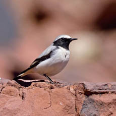 male Seebohm's Wheatear