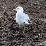 2nd summer Ring-billed Gull, South Uist