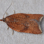 Acleris rhombana - Outer Hebrides Moths