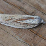 Acleris rufana, Outer Hebrides