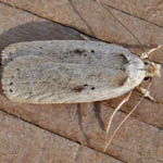 Agonopterix yeatiana Outer Hebrides