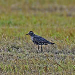 adult American Golden Plover, North Uist