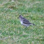 American Golden Plover, South Uist