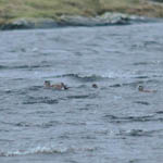 2 American Wigeons North Uist