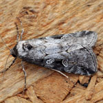 Anomalous - Outer Hebrides Moths
