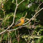 Baltimore Oriole, Northbay, Barra