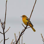 Baltimore Oriole, Outer Hebrides