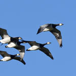 Barnacle Geese, North Uist