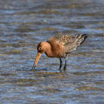 Black-tailed Godwit, South Uist