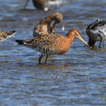 Black-tailed Godwits, Uist