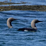Black-throated Divers, North Uist