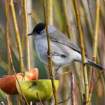 male Blackcap, South Glendale
