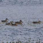 4 Blue-winged Teal, Baleshare