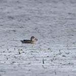 Blue-winged Teal, North Uist