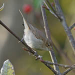Booted Warbler, North Uist