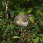Booted Warbler, Uist