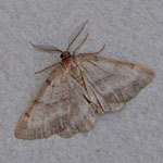 Bordered Grey - Outer Hebrides Moths