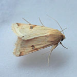 Bordered Straw Moths of the Outer Hebrides
