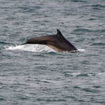 Bottle-nosed Dolphin, South Uist
