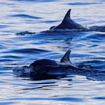 Bottle-nosed Dolphins, Sound of Barra