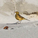 Buff-bellied Pipit Outer Hebrides
