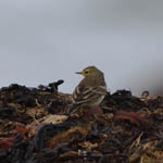 Buff-bellied Pipit North Uist