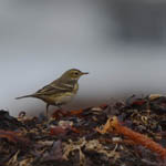 Buff-bellied Pipit, Outer Hebrides