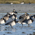 Cackling Geese, Loch Paible, North Uist