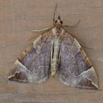 Chevron - Outer Hebrides Moths
