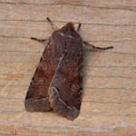 Clouded Drab, Outer Hebrides