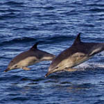 Common Dolphins, Outer Hebrides