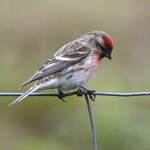 Common Redpoll, South Uist