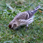 Common Redpoll, Outer Hebrides