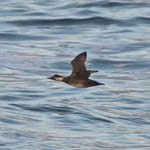 female Common Scoter