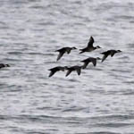 Common Scoters, Outer Hebrides