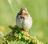 Corn Bunting, North Uist