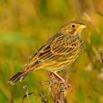 Corn Bunting, South Uist