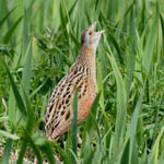 Corncrake, South Uist
