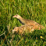 pair of Corncrakes