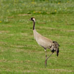 Common Crane, Benbecula