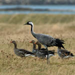 Crane with Greylags